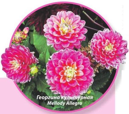 Георгина культунная Mellody Allegro