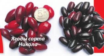 кизил ягоды сорта Никола