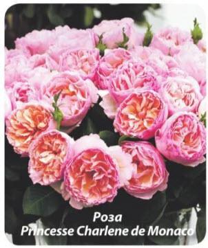 роза Princesse Charlene de Monaco