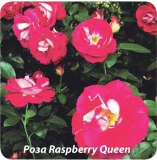 Роза Raspberry Queen
