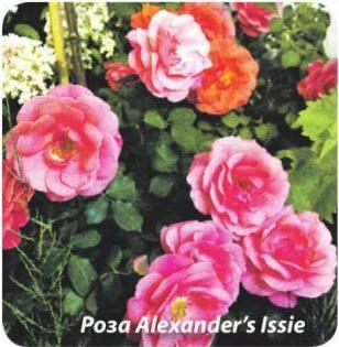 Роза Alexanders Issie