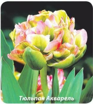 Тюльпан Акварель