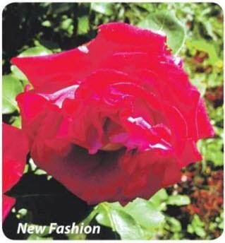 роза New Fashion