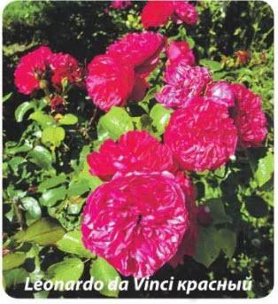 роза Leonardo da Vinci красный