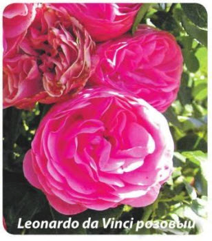 роза Leonardo da Vinci розовый