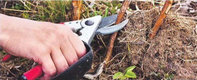 Когда обрезать ремонтантную малину