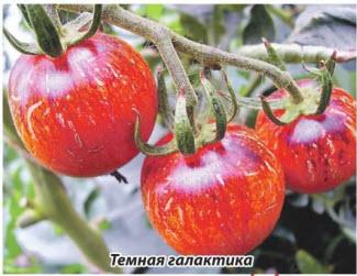 помидор Темная галактика