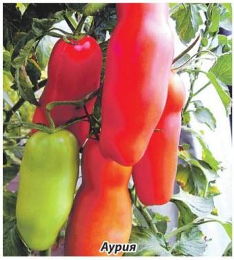помидоры Аурия