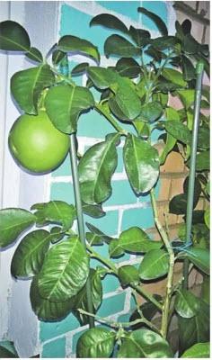 фрукт помело плоды