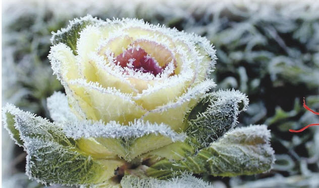 Декоративная капуста (капустная роза)