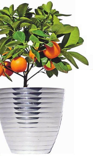 комнатного мандаринового дерева