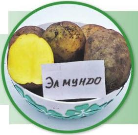 Сорт картошки Эл Мундо