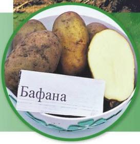 Сорт картошки Бафана
