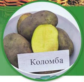 Сорт картошки Коломба