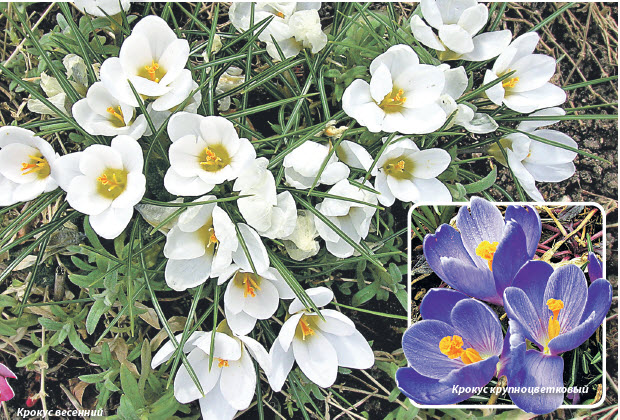 Крокус весенний и Крокус крупноцветковый