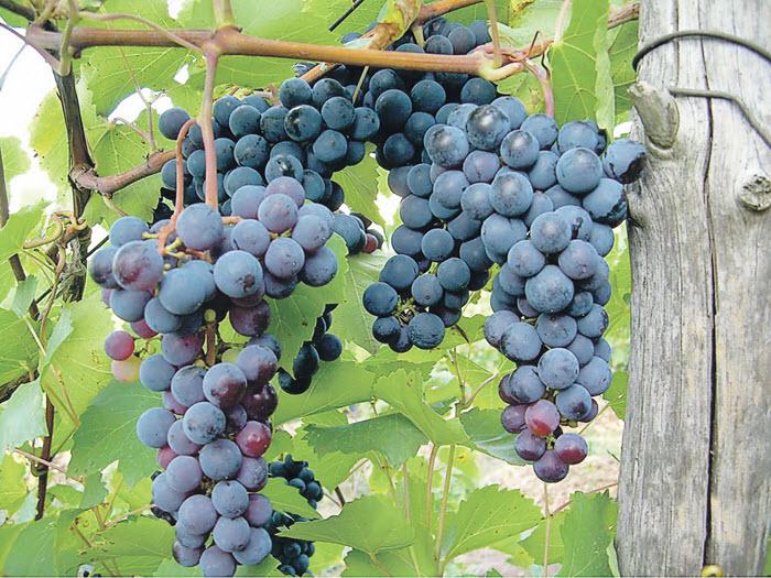 виноград Левокумский устойчивый