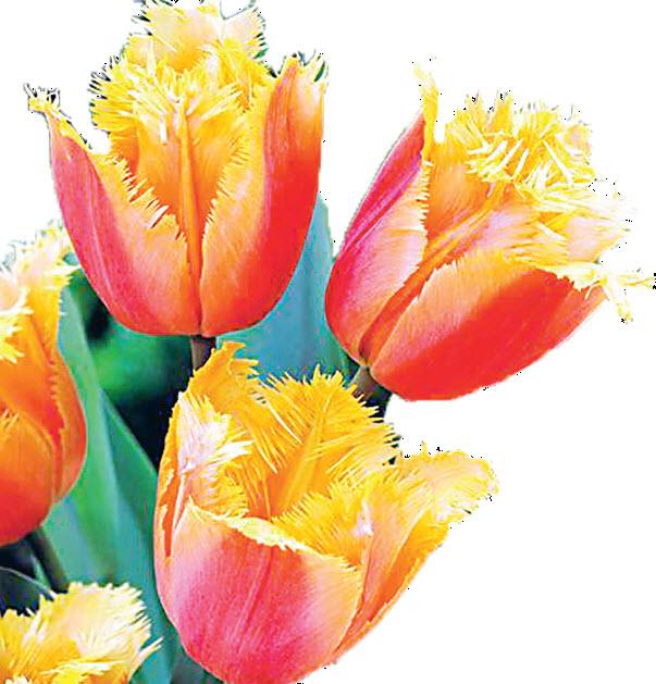 Тюльпан Lambada