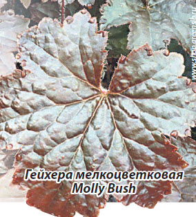 Гейхера мелкоцветковая Molly Bush