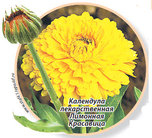 Календула лекарственная Лимонная Красавица