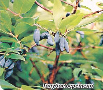 Жимолость Голубое веретино