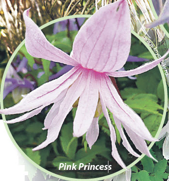 княжики Pink Princess