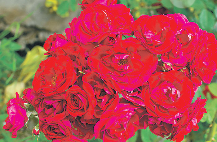роза Flammentanz.