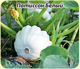 Патиссон Белый