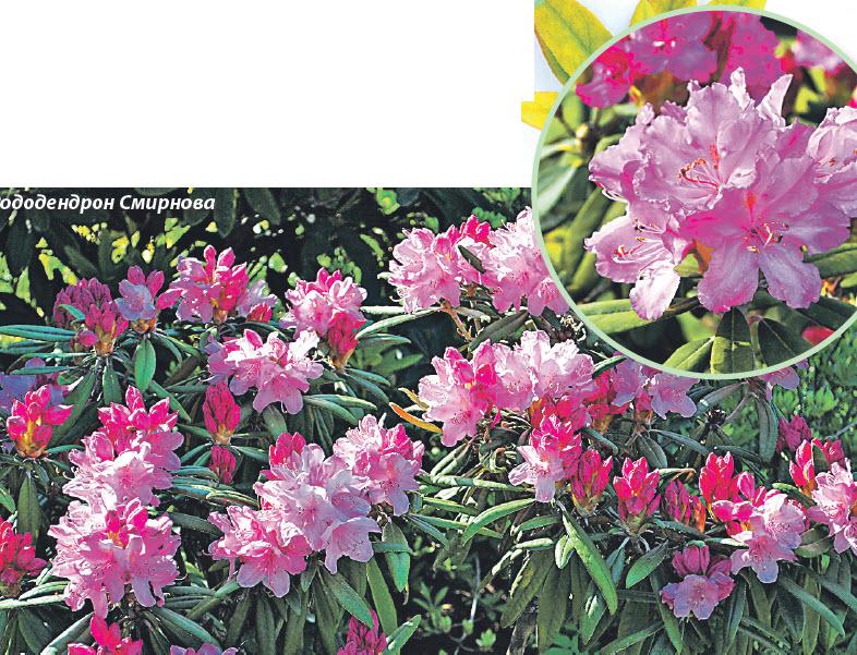 Рододендрон Смирнова (Rhododendron smirnowii)
