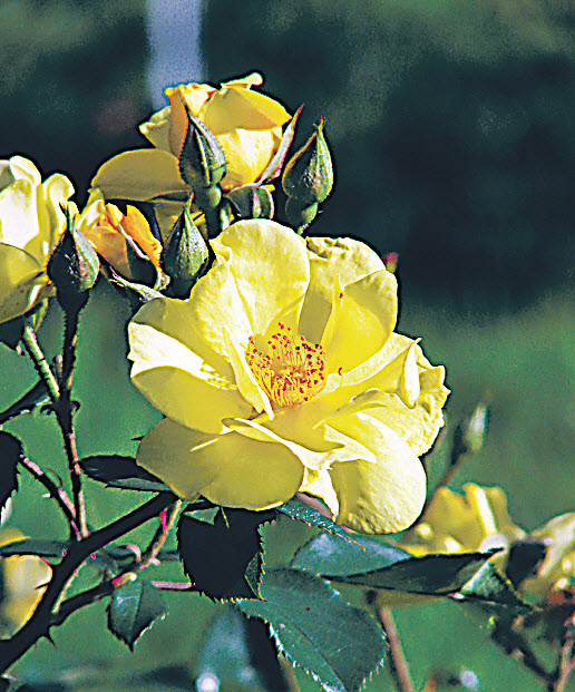 почвопокровная роза Yellow Fleurette