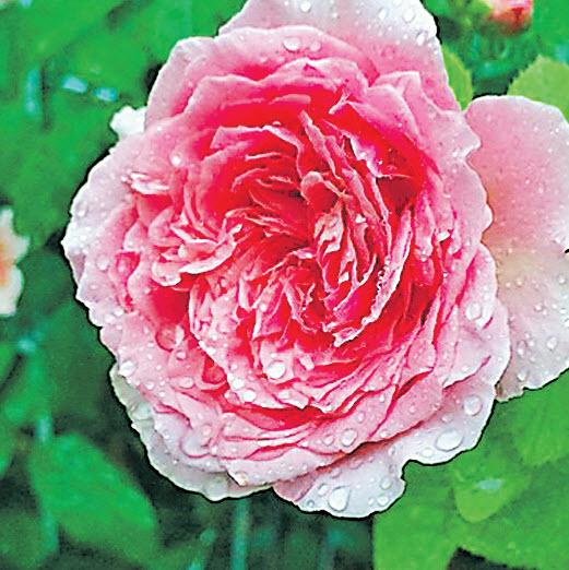 Роза Bienvenue