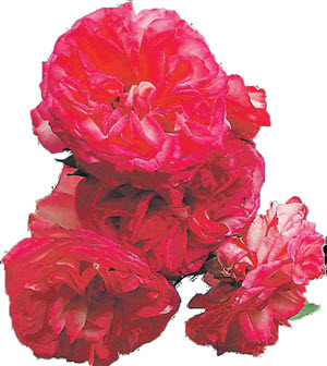 Роза Antike-89