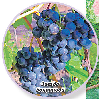 виноград Звезда бояринова