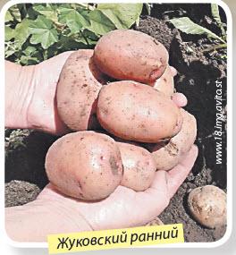 Сорт картошки Жуковский ранний