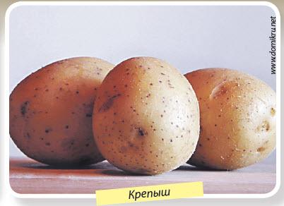 Сорт картошки Крепыш