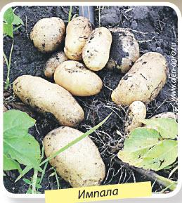 Сорт картошки Импала