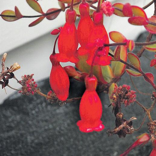 Каланхоэ – цветы, с которых начинается каждый сад Лин Инграм